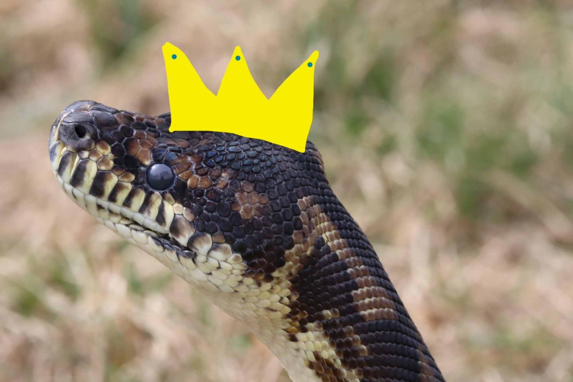 Image of an actual python with a crown drawn on its head